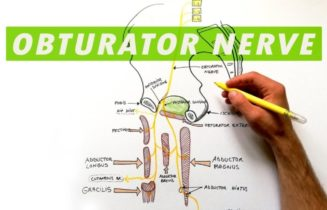 Obturator Nerve Anatomy, Function & Diagram