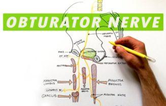 Obturator Nerve Anatomy, Function & Diagram